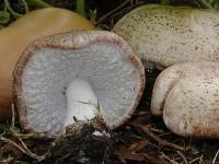 Agaricus_ Subrufescens_4