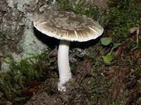 Amanita ceciliae1