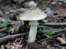 Amanita_pantherina_13