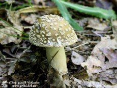 Amanita_pantherina_14