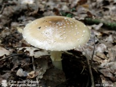Amanita_pantherina_19