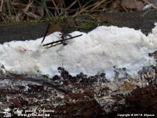 Amyloporia sinuosa(Fr.) Rajchenb., Gorjón & Pildain, 2011 (Syn.: Antrodia sinuosa(Fr.) P. Karst., 1881)