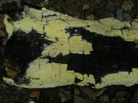 Antrodia xantha1