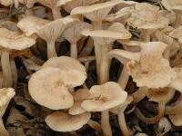 Armillaria tabescens2