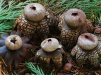 Astraeus hygrometricus2