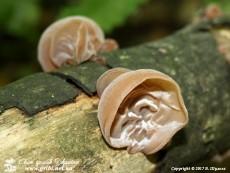 Auricularia_auricula-judae_0