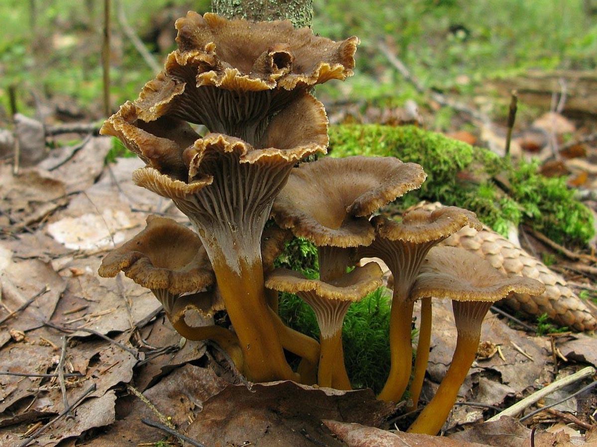 Лисичка трубчатая (cantharellus tubaeformis) принадлежит к роду лисичка, семейству лисичковые