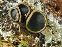 Catinella olivacea1