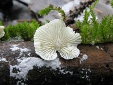 Cheimonophyllum-candidissimum