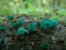 Chlorociboria-aeruginosa