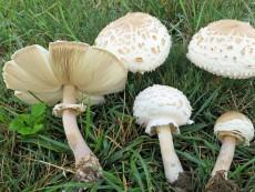 Chlorophyllum-molybdites