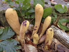 Clavariadelphus-pistillaris