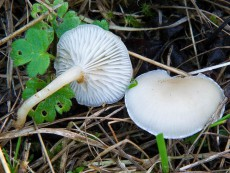 Clitocybe candicans2