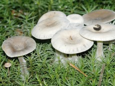 Clitocybe candicans3