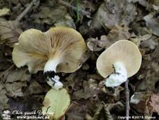 Clitopilus_prunulus_4