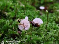Collybia tuberosa / Колібія бульбоносна