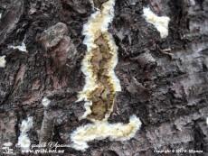 Coniophora puteana / Коніофора кринична