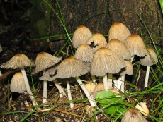 Coprinellus truncorum2