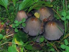 Coprinopsis acuminata1