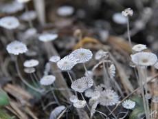 Coprinopsis stercorea
