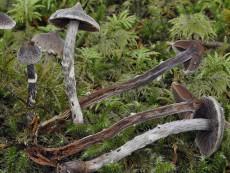 Cortinarius Paleaceus2