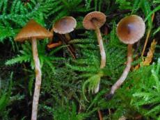 Cortinarius acutus1
