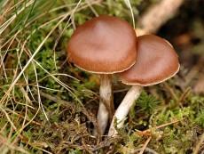 Cortinarius brunneus