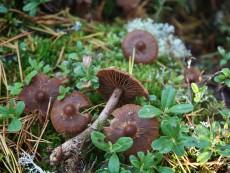 Cortinarius brunneus3