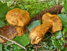 Cortinarius callisteus1