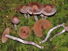 Cortinarius evernius2