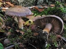 Cortinarius infractus