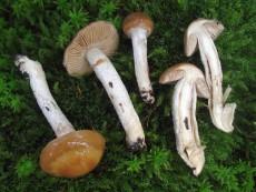 Cortinarius mucifluus2
