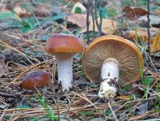 Cortinarius mucosus1