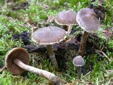 Cortinarius paleaceus