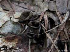 Craterellus_cornucopioides_7