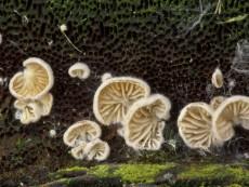 Crepidotus versutus1