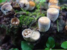 Crucibulum laeve3