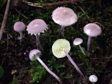 Cystolepiota bucknallii3