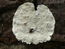Cystostereum murrayi