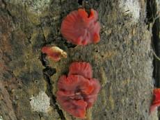 Cytidia salicina1