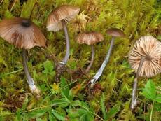 Entoloma asprellum