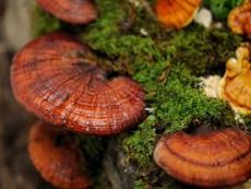 Ganoderma lucidum2