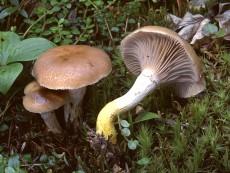 Gomphidius glutinosus3