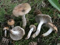 Gomphidius maculatus2