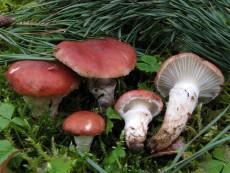 Gomphidius roseus2