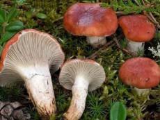 Gomphidius roseus3