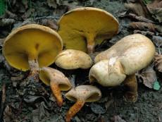Gyrodon lividus3
