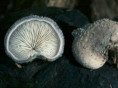Hohenbuehelia mastrucata3