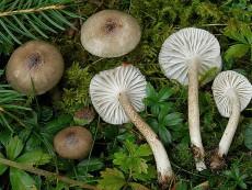 Hygrophorus pustulatus2