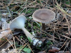 Hygrophorus_agathosmus_1